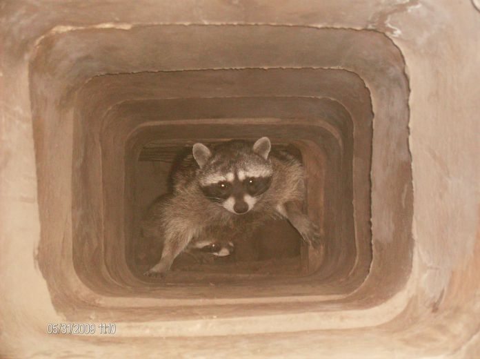 critters in chimney